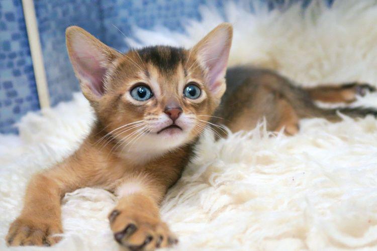 Ilustrasi kucing jenis Abyssinian.
