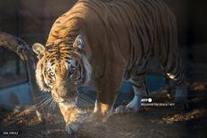 Kisah Desa yang Dihuni 3.000 Janda, Para Suami Tewas Diterkam Harimau