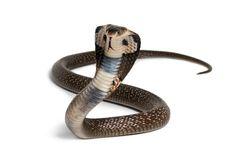 Di Cianjur, Ular Kobra Bersarang di Tumpukan Genting