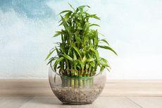 5 Hal yang Perlu Diperhatikan Saat Meletakkan Lucky Bamboo di Rumah