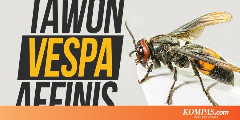 Cara Mengatasi Sengatan Tawon Vespa affinis dan Pencegahannya...
