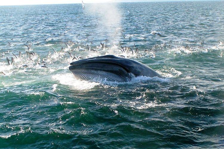 Seekor paus Brydes saat sedang mengambil napas di permukaan laut.