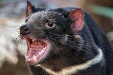 Setelah 3.000 Tahun, Bayi-bayi Setan Tasmania Berhasil Lahir di Alam Liar Australia