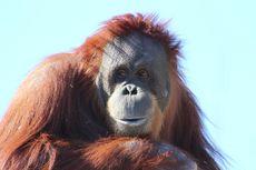 Inji, Orangutan Tertua di Dunia, Disuntik Mati di Kebun Binatang Oregon, AS