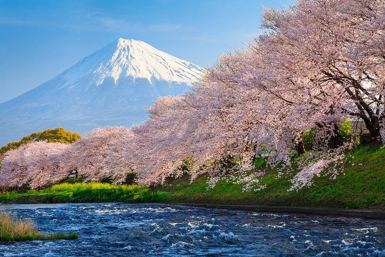 Bunga sakura merupakan salah satu daya tarik paling populer bagi wisatawan yang berkunjung ke Jepang.