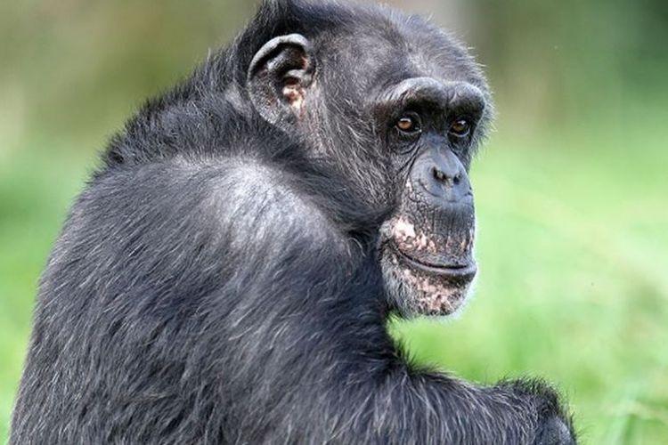 Blossom, simpanse tertua di Eropa.