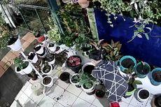 Puluhan Aglonema Digasak Maling, Aksi Pelaku Terekam CCTV