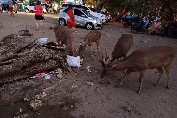 Kawanan rusa terlihat memakan sampah di Pantai Pangandaran.