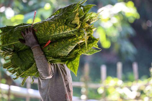 Produksi Tembakau Indonesia Cenderung Stagnan, Mengapa?