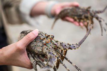 Bedanya Lobster Air Tawar dengan Lobster Air Laut