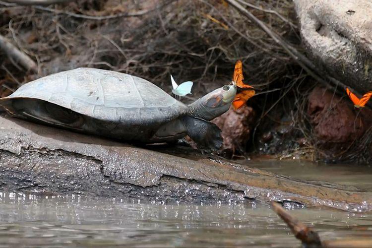 Kupu-kupu tertangkap sedang meminum air mata kura-kura agar mendapat natrium yang sangat dibutuhkannya. Kejadian ini ditangkap di Amazon.