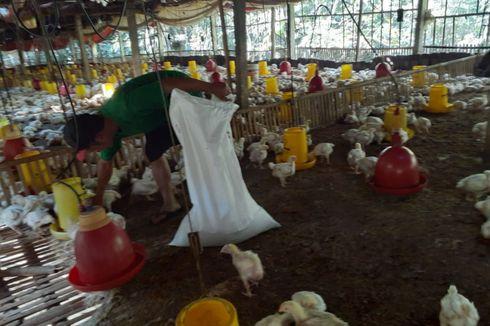 Jeritan Peternak Saat Harga Ayam Anjlok Rp 5.000 Per Kg: Pilih Bertahan atau Kosongkan Kandang