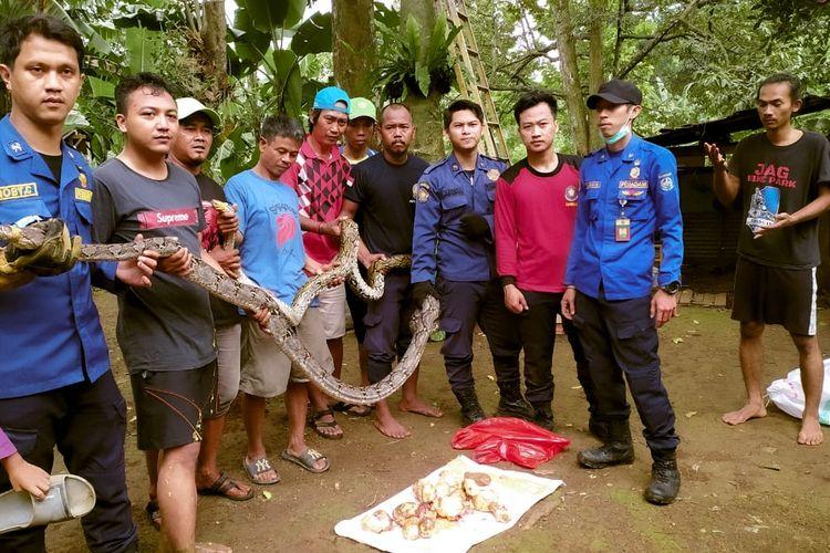 Sepasang ular sanca berukuran besar serta 10 butir telurnya ditemukan di permukiman warga di Gang Pusara, Bojongsari, Depok, Jawa Barat pada Selasa (24/11/2020).
