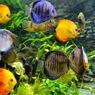 5 Manfaat Memelihara Ikan Dalam Akuarium