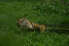 Mati Surinya Sejumlah Kebun Binatang di Tengah Pandemi, Ada yang Hendak Korbankan  Rusa untuk Pakan Harimau