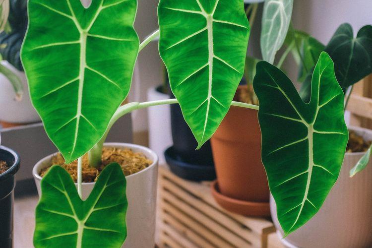 Ilustrasi tanaman hias alocasia.
