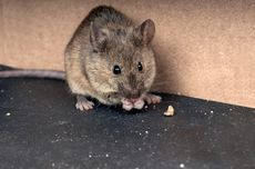 Belajar dari Tikus untuk Mengobati Depresi Manusia, Bagaimana Caranya?