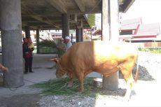 Jokowi Sumbang Satu Ekor Sapi Kurban Seberat 750 Kg di Jayapura