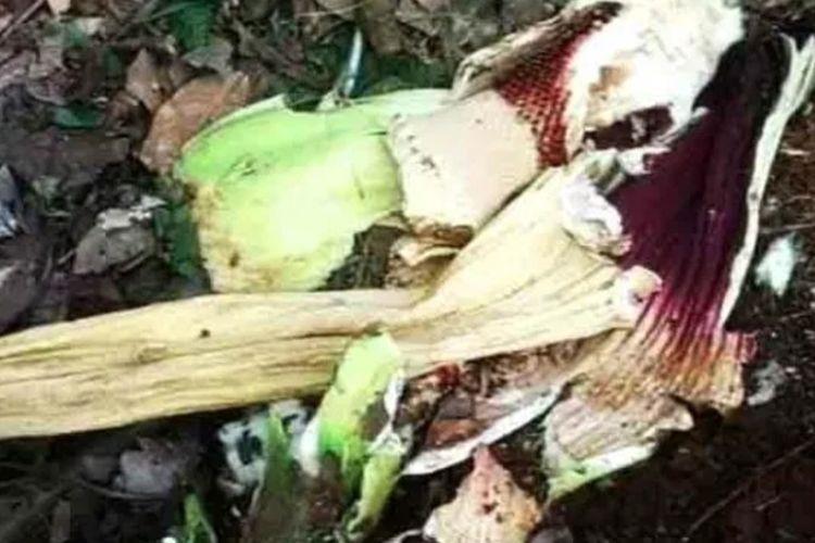 Bunga Bangkai raksasa di Pesisir Selatan mati sebelum mekar, diduga dirusak warga