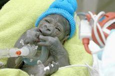 Bayi Gorila yang Lahir lewat Operasi Caesar Terserang Pneumonia