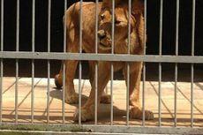 Penjaga Tewas Diterkam Singa di Etiopia
