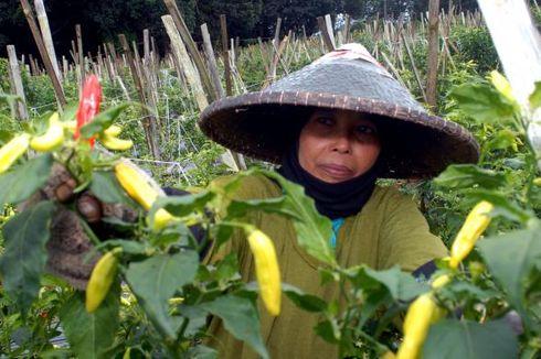 IPB: Benih Cabai Impor dari China Rentan Penyakit, Rugikan Petani