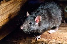 Mengejutkan, Tikus Mutan Bertubuh seperti Binaragawan Pulang dari Luar Angkasa