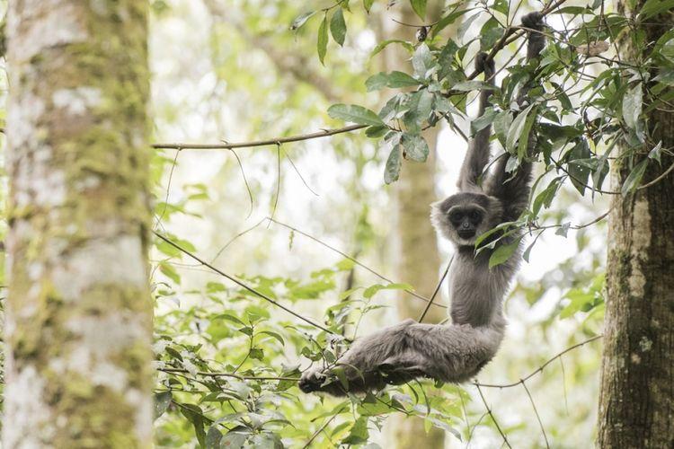 Seekor Owa Jawa (Hylobates moloch) bernama Ucup (delapan tahun) bergelantungan setelah dilepasliarkan di Kawasan Cagar Alam Gunung Tilu, Kabupaten Bandung, Jawa Barat, Kamis (5/10/2017). Balai Besar Konservasi Sumber Daya Alam (BBKSDA) Jawa Barat bekerja sama dengan The Aspinal Foundation Indonesia Program melepasliarkan dua pasang Owa Jawa yaitu, dua Owa jantan bernama Ucup dan Iwa (3 tahun) serta dua betina bernama Desi (6 tahun) dan Amoy (2,5 tahun).