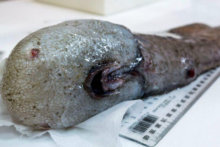 Ikan tanpa wajah