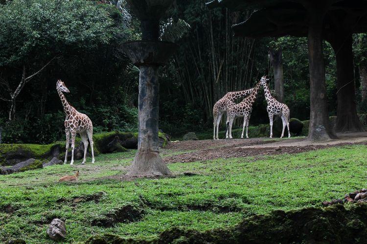 Taman Safari Bogor, Jawa Barat DOK, Shutterstock/Greg PW