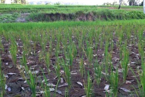 Satu Dekade, Kontribusi Pertanian terhadap PDB Menurun