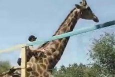 Diduga Mabuk, Pria Ini Naiki Jerapah di Kebun Binatang Saat Siang Bolong