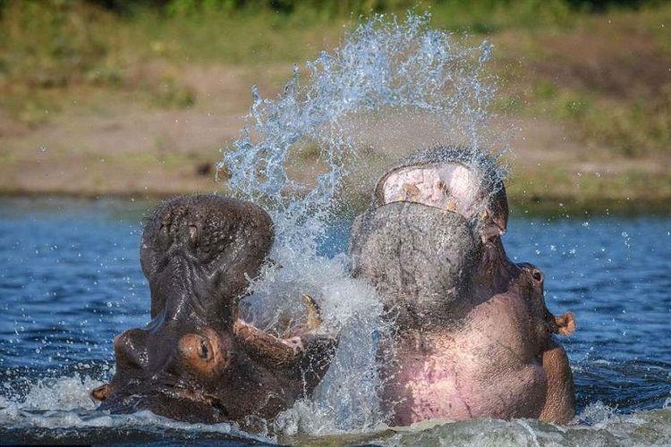 Dua kuda nil jantan tertangkap kamera berkelahi memperebutkan wilayah di sungai Chobe, Botswana.