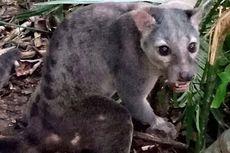 Kabar Gembira, Musang Sulawesi Terekam Kamera Setelah Misterius Bertahun-tahun