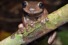 Spesies Baru Katak Ditemukan di Australia, Warnanya Cokelat Pekat