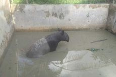 Tapir Betina Masuk ke Kolam Ikan di Pekanbaru, Hewan Apa Itu?