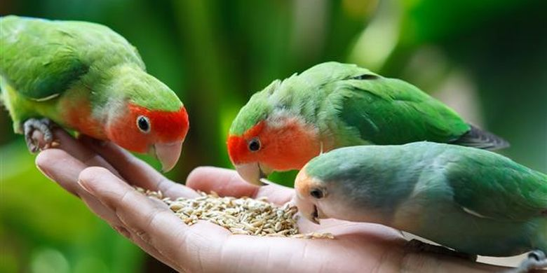 Ilustrasi burung Lovebird.