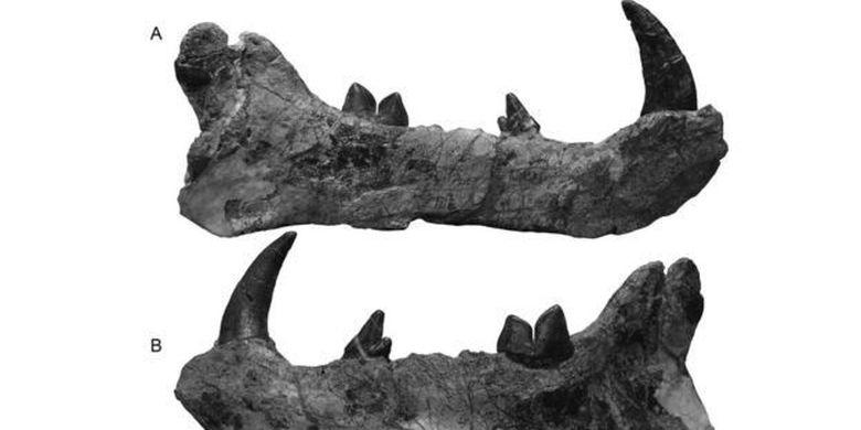 Fosil gigi dari spesies baru singa raksasa.