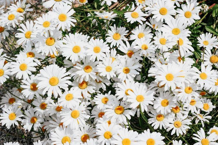 Ilustrasi bunga daisy/aster