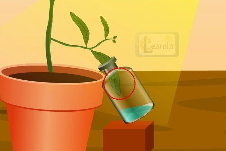 Sebuah percobaan sederhana untuk membuktikan adanya proses fotosintesis.