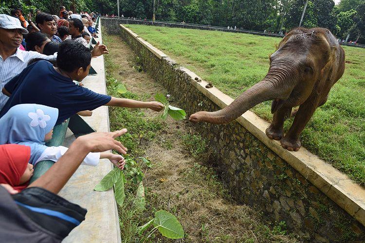 Seorang wisatawan memberi pakan daun kepada seekor gajah sumatra (Elephas maximus sumatranus) di Taman Margasatwa Ragunan (TMR), Jakarta Selatan, Kamis (6/6/2019). Pengelola kebun binatang tersebut memprediksi jumlah pengunjung selama masa libur Lebaran 2019 mencapai 50.000-70.000 wisatawan setiap hari.