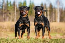 Lawan Covid-19, Anjing di Inggris Akan Dilatih Mengendus Virus Corona