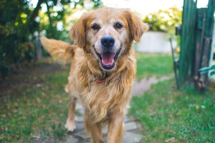Ilustrasi anjing. Cara mengusir anjing tak perlu menggunakan kekerasan melainkan bisa menempatkan bau-bau yang dibenci oleh hewan ini.