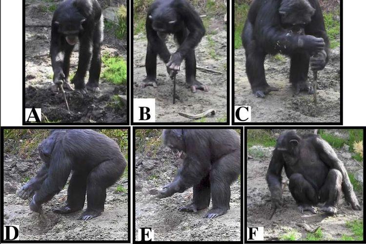 Simpanse belajar menggali tanah dengan alat. Hal ini diyakini mirip manusia purba.