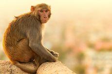 Satpol PP Jaktim Akan Ambil Monyet yang Videonya Viral karena Dianiaya Pawangnya