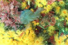 Mirip Bunga, Terumbu Karang Ini Ternyata Predator Ubur-ubur