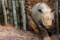 Kronologi Kematian Najag, Badak Sumatera di Kalimantan