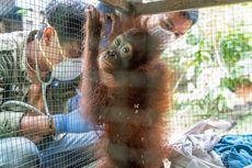 Bayi Orangutan yang Dirantai Warga di Rumah Walet Alami Cedera Kaki