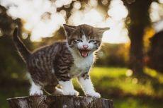 Ragam Penyebab Anak Kucing Mengalami Mencret