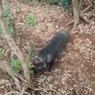Viral, Video Pendaki Bertemu Babi Hutan di Gunung Cikuray, Ini Ceritanya